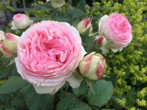 jaś kucharski róże
